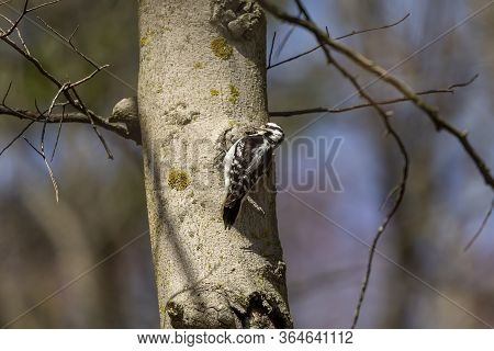 Downy Woodpecker. In The Spring Woodpeckers Make Holes In The Tree, From Which Flows Sweet Sap Which