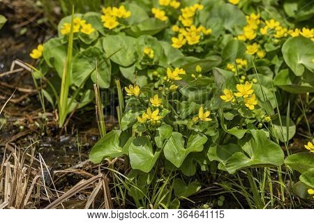 Marsh-marigold Is A Small To Medium-sized Perennial Herb Of The Buttercup That Comes From Swamps, Bo