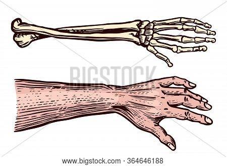 Human And Skeleton Hands. Bony Arm. Drawn Engraved Monochrome Vintage Biology Sketch. Vector Illustr