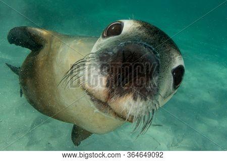 Australian Sea Lion underwater portrait photo