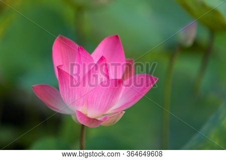 Pink Lotus (nelumbo Nucifera) Flower With Green Background In The Center Of Ho Chi Minh City In Viet