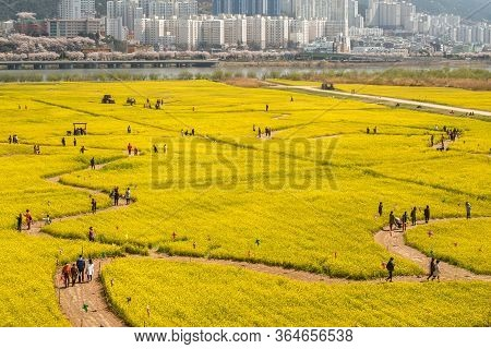 Busan, South Korea .april 3,2019: Tourist Taking Picture At Yuchae Canola Flower Festival In Daejeo