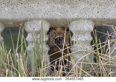 Small Dog Yorkshire Terrier Stuck Out A Muzzle A Nose From A Crack In A Concrete Fence