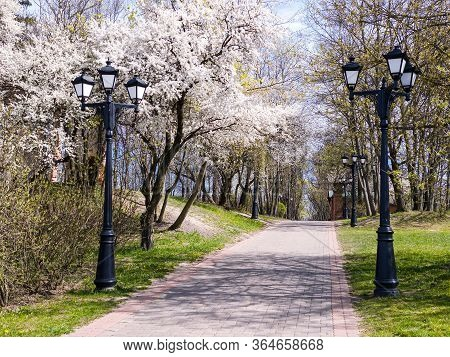 City Park During Sunny Spring Day. Cherry Trees In Full Bloom And Footpath With Lanterns