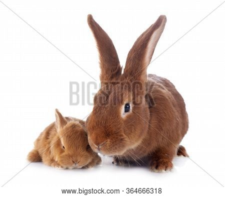 Young Rabbit And Adult Fauve De Bourgogne In Front Of White Background