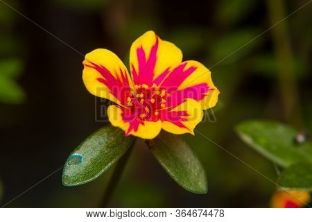 Closeup Portulaca Flower In Garden. (portulaca Oleracea)