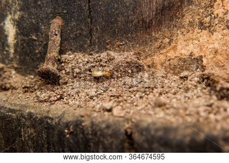 Close Up Of Termites Or White Ants Destroyed