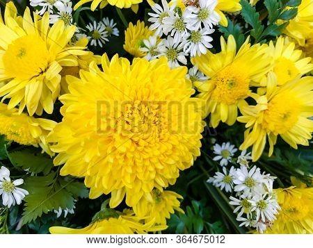 Beautiful Bright Yellow Chrysanthemum Flower