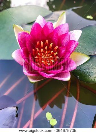 Beautiful Lotus Flower Ellisiana Or Tubtim Siam Water Lily Blooming On Pond