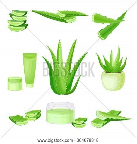 Aloe Vera As Flowering Succulent Plant With Thick Fleshy Leaves Vector Set