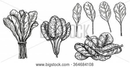 Hand Drawn Sketch Style Spinach Set. Isolated Spinach Leaves Drawing On White Background. Vegetable