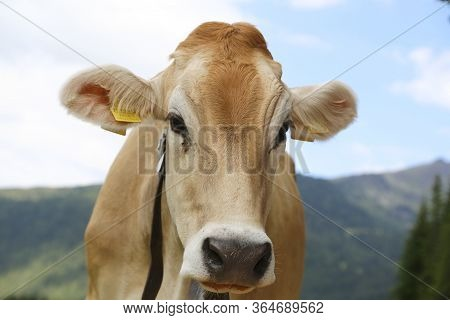 Alpine Gray Cow. White Cow With Horns In Dolomites Area. Portrait Of A Gray Beautiful Cow. A Grey Al