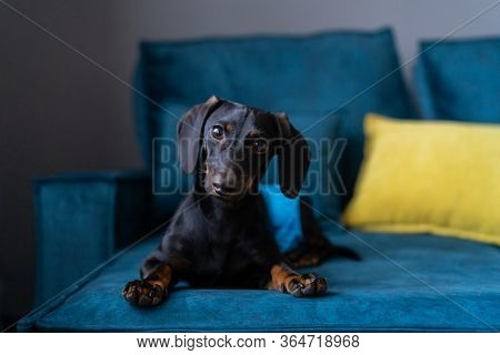 A Young Dachshund Puppy. Estrus And Put On Diapers