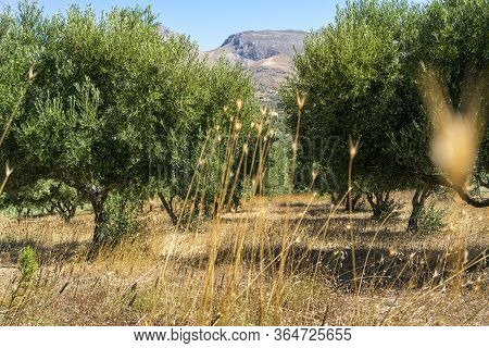 Olive Plantation Photographed Through The Dry Grass