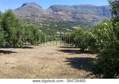 Olive Plantation With Mountain Range In The Background On Crete