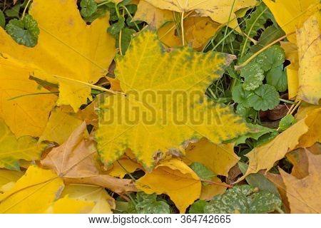 Colorful Backround Of Fallen Autumn Leaves. Autumn Leaf Texture.