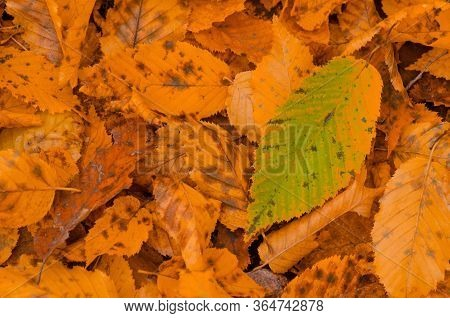 Colorful Beautiful Background Of Fallen Leaves. Colorful Autumn Leaves