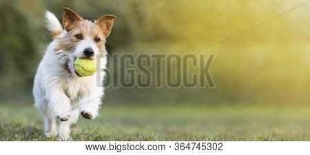 Playful Happy Pet Dog Puppy Running In The Grass And Playing With A Tennis Ball. Web Banner With Cop