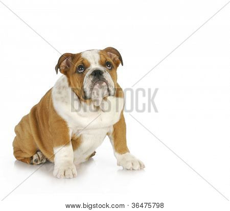 guilty looking puppy - english bulldog puppy looking up with guilty expression poster