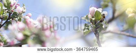 Bee Picking Pollen From Apple Flower