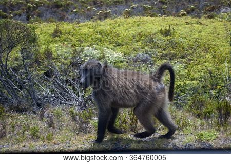 A Lone Baboon Strolling In The Wilderness Of The Cape Peninsula. Baboons Are Primates Comprising The