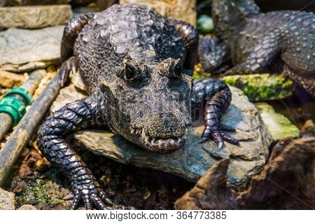 Closeup Portrait Of A African Dwarf Crocodile, Tropical And Vulnerable Reptile Specie From Africa
