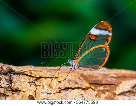 Beautiful Closeup Of A Glasswing Butterfly, Tropical Insect Specie From South America