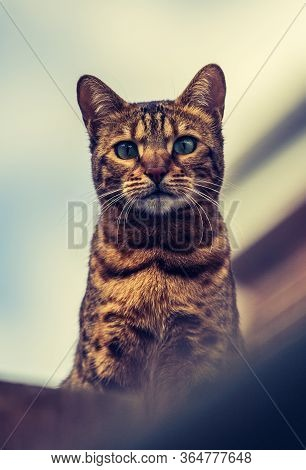 A Low Angle View Of A Pedigree Bengal Cat Looking Down From A Rooftop Showing Details Of Stripy Fur