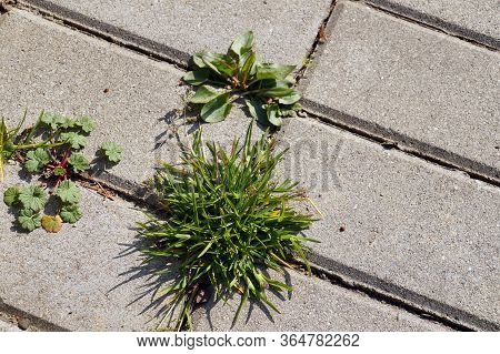 An Annual Problem In Front Of The House. Paving Stones With Ingrown Weeds And Grass.