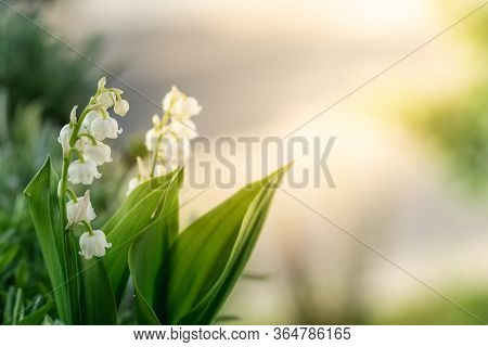 Closeup Of A Beautiful Lilly Of The Valley Flower Blooming In The Sun Light.