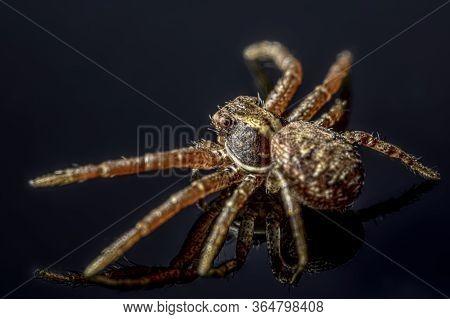 The Common Crab Spider On Black Background ( Xysticus Cristatus )- Macro, Closeup - Art Design
