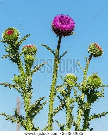 Pink Milk Thistle Flowers, Close Up. ( Silybum Marianum Herbal Remedy, Saint Mary's Thistle, Marian