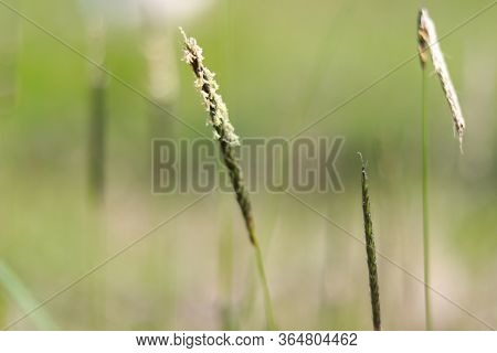 Blossoming Inflorescence Of Field Meadow Foxtail Close-up (alopecurus Pratensis) Grass Detail