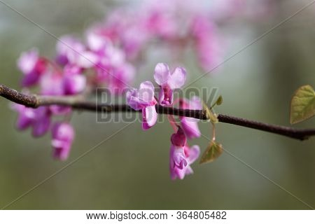 Flowers Of An Eastern Redbud, Cercis Canadensis.