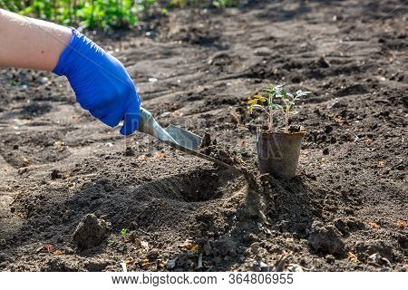 Process Of Planting A Plant In The Ground For Growing Vegetables, A Gloved Hand Digs A Hole With A G