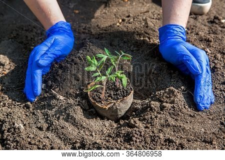 Process Of Planting A Plant In The Ground For Growing Vegetables, A Gloved Hands Bury A Hole With Ec