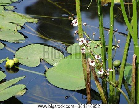 White Water Flowers Arrowhead, Water Lilies, Leaves