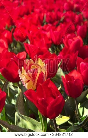 Fields full of red tulips with one exception in Dutch Flevopolder