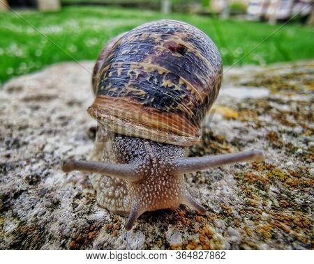 Helix Pomatia Also Roman Snail, Burgundy Snail, Edible Snail Or Escargot, Is A Species Of Large, Edi