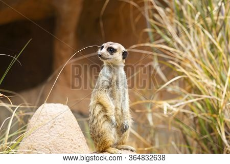 Meerkat Or Suricate (suricata Suricatta) In Natural