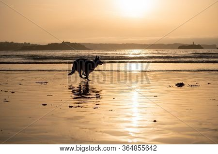 German Shepherd Dog Running Free Off The Leash And Playing On A Friendly-dog Beach At Sunset. Pet Fr