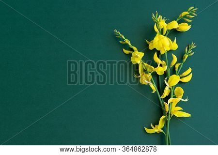 Yellow Blossom Gorse On The Green-blue Background, Flat Lay Floral Themes