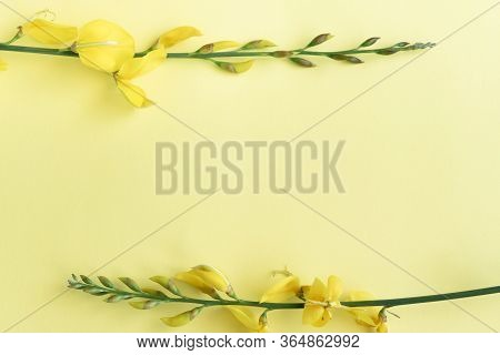 Close Up View Of Yellow Blossom Gorse, Flat Lay Floral Themes, Space For Text