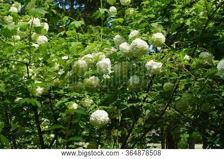 A Lot Of White Inflorescences Of Viburnum Opulus Sterile In Mid May