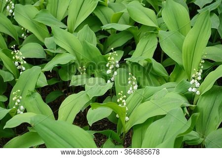 Leaves And White Flowers Of Convallaria Majalis In May