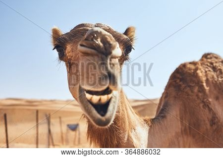 Toothy Smile Of Curious Camel Against Sand Dunes. Desert Wahiba Sands In Oman.