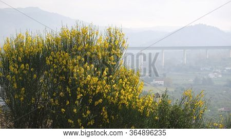Closeup Of Spanish Broom Flower In Countryside In Andalusia