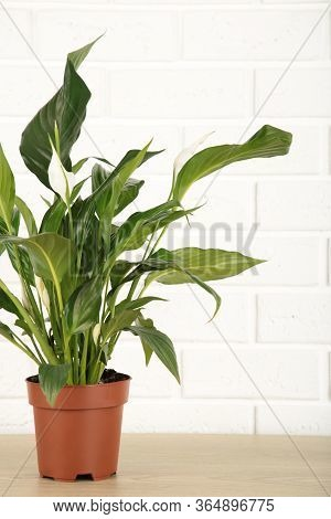 Spathiphyllum Plant With Flowers In Flower Pot On White Background With Copy Space. Vertical Foto