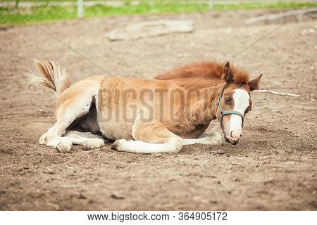 Brown Foal At The Farm. Foal On The Sand
