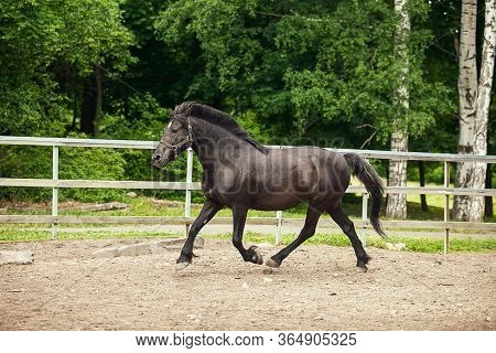 Black Horse Is Running At The Farm